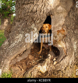 Service Dog Waiting in the Hollow Trunk of an Ancient Oak Tree - Stock Photo