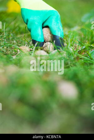 Worker picking fallen walnuts from the ground - Stock Photo