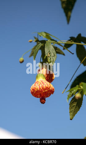 Red and yellow flower on a Chinese lantern flower, also called Indian Mallow and Flowering maple - Stock Photo