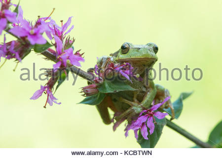 Tree frog (Hyla arborea), sits on Purple loosestrife (Lythrum salicaria), North Rhine-Westphalia - Stock Photo