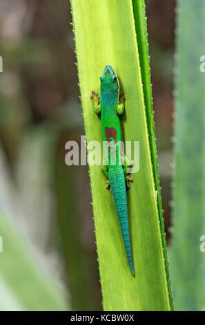 Lined day gecko (Phelsuma lineata), Andasibe National Park, Madagascar - Stock Photo