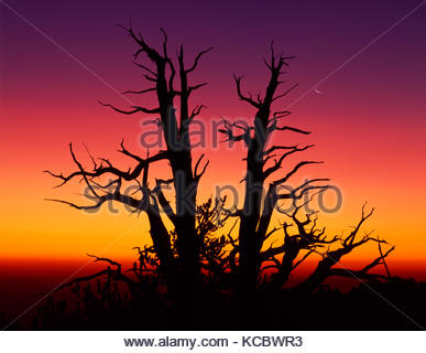 Ancient Bristlecone Pine with Rising Moon at Dawn, The White Mountains, California (color was from of Mt. Pinatubo - Stock Photo