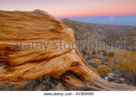 Ancient Bristlecone Pine Snag and Rising Moon, The White Mountains, Inyo National Forest, California - Stock Photo