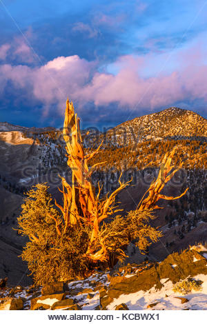 Clearing Storm and Sunset Glow on of Ancient Bristlecone Pine, The White MountainsInyo National Forest, California - Stock Photo