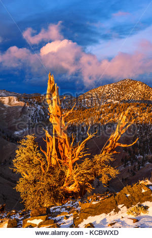 Clearing Storm and Sunset Glow on of Ancient Bristlecone Pine, The White Mountains, Inyo National Forest, California - Stock Photo