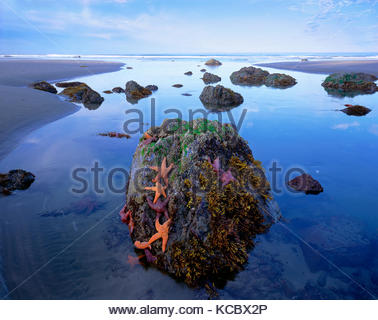 Sea Stars and Rock, Olympic National Park, Washington - Stock Photo