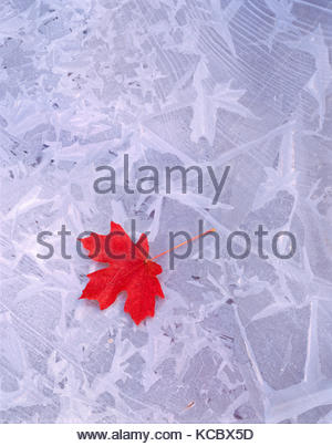 Bigtooth Maple Leaf on Ice, Zion National Park, Utah - Stock Photo