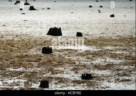 Remains of dark dead tree stumps contrasted against large muddy swamp covered in algae and seaweed. - Stock Photo