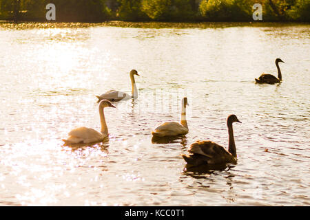 A group of a wild swans swimming together away from camera. Golden sunlight on water surface, golden hour. - Stock Photo