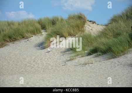 Gulls in the sandy dunes with beach oat and blue sky - Stock Photo