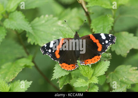 A pretty Red Admiral Butterfly (Vanessa atalanta) perched on a stinging nettle leaf. - Stock Photo