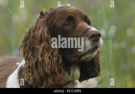 A head shot of a cute English Springer Spaniel Dog (Canis lupus familiaris). - Stock Photo