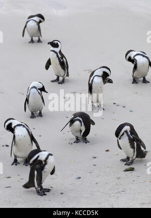 African penguins (Jackass penguins) on Boulders Beach, Simon's Town, Cape Town, Western Cape, South Africa - Stock Photo