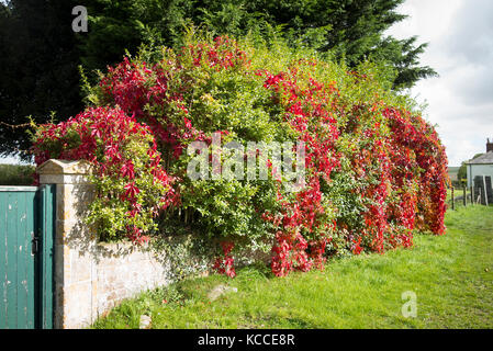 Red foliage of rambling Virginian Creeper in a mixed hedge in Avebury Wiltshire UK - Stock Photo