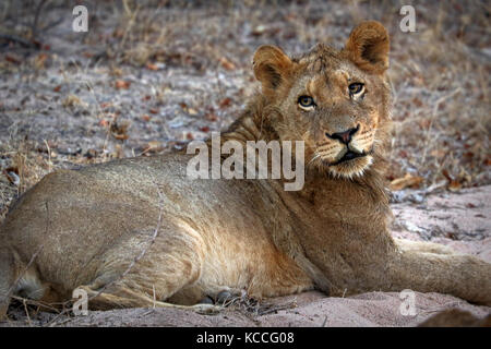 Close up of lion in the Kruger National Park, South Africa - Stock Photo