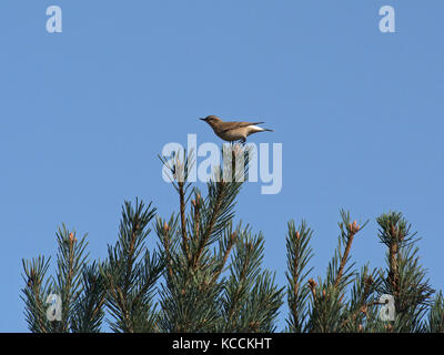 Wheatear, Oenanthe oenanthe, female, perched on conifer against a plain blue sky in Arne, Dorset, UK - Stock Photo