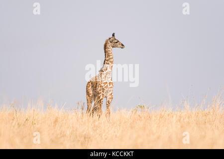 Masai giraffe (Giraffa camelopardalis tippelskirchi) in open savanna, Masai Mara National Game Park Reserve, Kenya, - Stock Photo