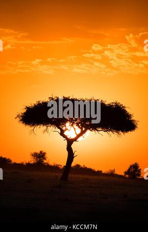 Sun setting behind silhouetted acacia tree, Masai Mara National Game, Park Reserve, Kenya, East Africa - Stock Photo