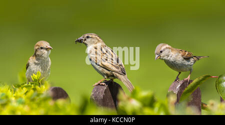 House Sparrows (Passer domesticus) perched together on posts in Summer in West Sussex, England, UK. In panoramic. - Stock Photo