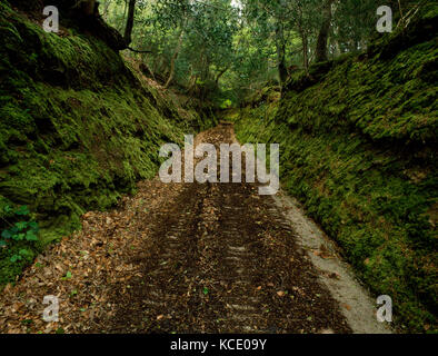 King's Wood, Pentewan Valley, St Austell, Cornwall. Sunken trackway cut deep through moss covered banks and dense - Stock Photo