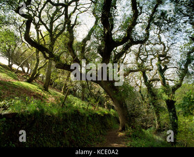 King's Wood, 59.4 ha (146.9 acres) of mixed broadleaf woodland lying on steep E slope of Pentewan valley above St - Stock Photo