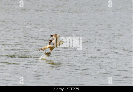 Yellow-headed Caracara (Milvago chimachima) fishing in Central Trinidad with blurred wings - Stock Photo