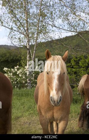 Cheval de la Cerdagne, Pyrénées-Orientales - Stock Photo