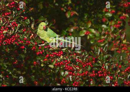 Ring-necked Parakeet Psittacula krameri feeding in Hawthorn in Richmond Park London October - Stock Photo