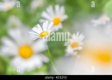 Oxeye daisies dreamy selective focus blur in Summer. North Devon garden, UK. June. - Stock Photo
