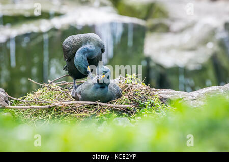 Two shags mating on their clifftop nest in the Farne Islands, May. - Stock Photo