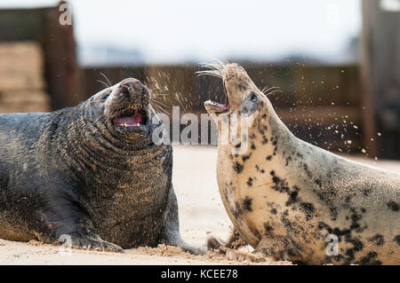 Two adult Atlantic grey seals (Halichoerus grypus), bull on left, cow on right, throwing up sand while threatening - Stock Photo