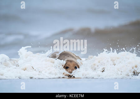 An adult Atlantic grey seal(Halichoerus grypus) bull coming ashore through the surf on a beach at Winterton Dunes - Stock Photo