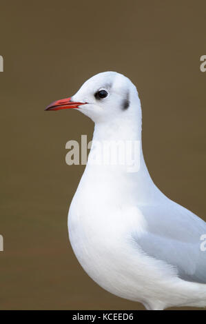 An close-up of an adult black-headed gull (Larus ridibundus) in winter plumage in Bridlington, East Yorkshire. January. - Stock Photo