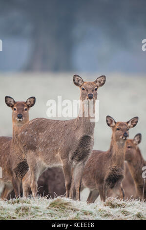 A group of adult fallow does (Dama dama) standing on frosty grass near Ripon, North Yorkshire. January. - Stock Photo
