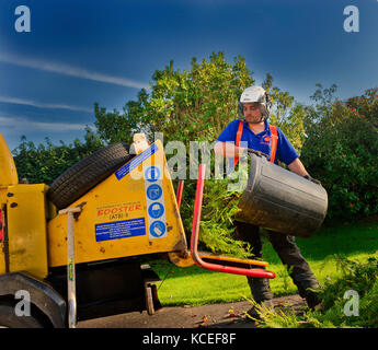 Profession tree surgeon empties a bin of leylandii trimmings into the power driven mulching machine cutting them - Stock Photo