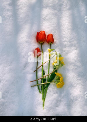 Three red tulip flowers and three cowslip flowers on April snow. Flowers picked from garden. Very late snow fall - Stock Photo