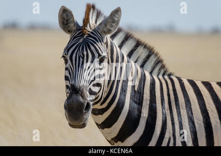 Close-up portrait of Burchells zebra in front of yellow grass, Etosha National Park, Namibia, Southern Africa - Stock Photo