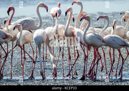 Flock of pink flamingos gathered at Namibia's Sandwich Harbour seaside and lagoon were wading to search for their - Stock Photo
