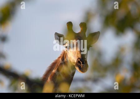 Giraffe (Giraffa camelopardalis) looking at camera from behind a tree, Kruger National Park, South Africa - Stock Photo