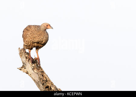 Natal spurfowl or Natal francolin (Pternistis natalensis) on tree stump, Kruger National Park, South Africa - Stock Photo