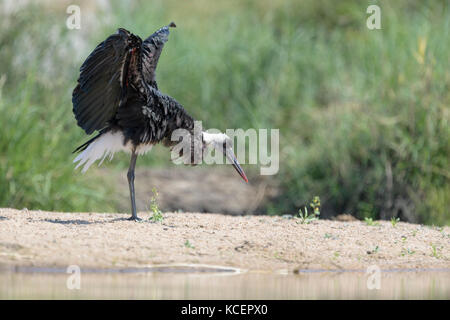 Woolly-necked stork (Ciconia episcopus) shaking his wings, Kruger National Park, South Africa - Stock Photo