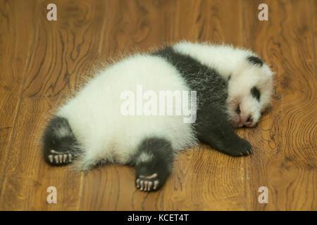 Baby Giant Panda, Ailuropoda melanoleuca, at Panda Research Base, Chengdu, Sichuan, China - Stock Photo