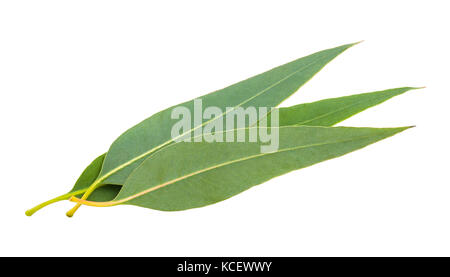 eucalyptus leaves isolated on white background - Stock Photo
