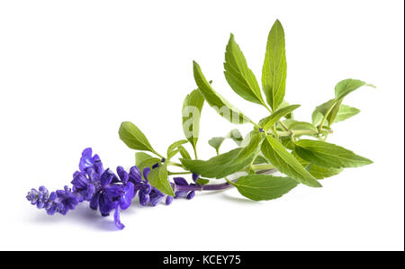 Salvia farinacea with flowers isolated on white background - Stock Photo