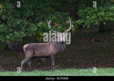 Windsor, UK. 4th October , 2017. A stag stands with grass on its antlers in Windsor Great Park. Stags adorn their - Stock Photo
