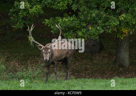 Windsor, UK. 4th October , 2017. A stag scoops grass and bracken onto its antlers during the rutting season in Windsor - Stock Photo