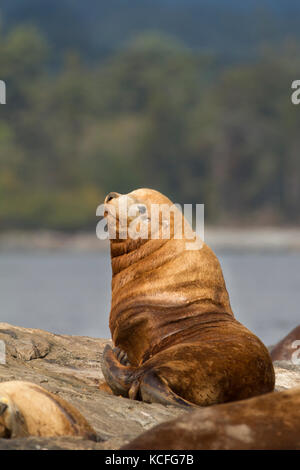Stellar Sea Lion, Eumetopias jubatus, hauled out at Race Rocks, Near Victoria, British Columbia, Canada - Stock Photo