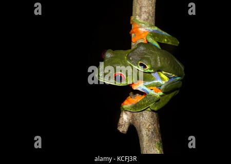 Two red-eyed tree frogs, Agalychnis callidryas, perched on a tree branch - Stock Photo