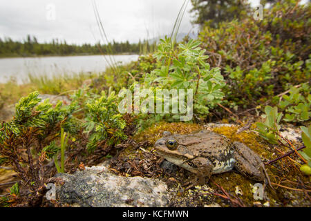 Columbia Spotted Frog, Lithobates lutieaventris, Rana lutieaventris, British Columbia, Canada - Stock Photo