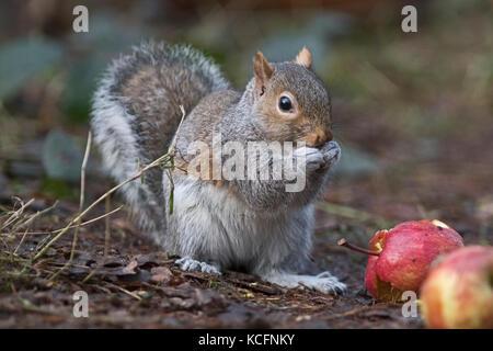 Grey Squirrel (Eastern Gray Squirrel) Sciurus carolinensis Norfolk UK January - Stock Photo